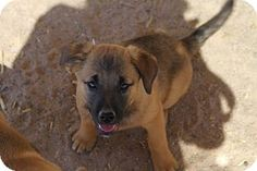 Golden Valley, AZ - Border Collie/Australian Cattle Dog Mix. Meet Siani, a puppy for adoption. http://www.adoptapet.com/pet/17842231-golden-valley-arizona-border-collie-mix