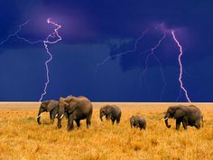 Majestic heard of elephants with a dramatic & electrifying backdrop!!!