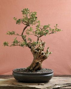 The art of bonsai strives to re-create the effects of weather, time, and plant growth in miniature.  The deadwood trunk of this 100-year-old Korean boxwood is carved in a style suggesting the hardships that a tree would endure in nature.