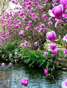 Creekside Spring surge of magnolias