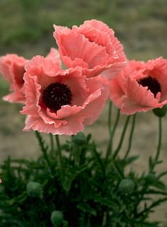 'Coral Reef' oriental poppy. Large flowered pastel coral pink blossoms - a favorite for butterflies and hummingbirds. Deer resistant.