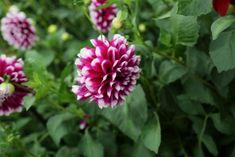 Twenty Evergreen Shrubs For Non-Stop Color | HGTV Best Perennials, Flowers Perennials, Purple Perennials, Growing Flowers, Planting Flowers, Evergreen Flowering Shrubs, Shrubs For Landscaping, Mailbox Garden, Night Blooming Flowers