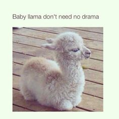 Baby Lama dont Need no Drama !