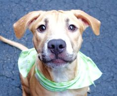 Safe 11/25■■■■■■■■Manhattan Center CHEYENNE – A1058271  FEMALE, TAN / WHITE, AM PIT BULL TER MIX, 6 mos STRAY – STRAY WAIT, NO HOLD Reason STRAY Intake condition EXAM REQ Intake Date 11/18/2015, From NY 10458, DueOut Date 11/21/2015, I came in with Group/Litter #K15-039926.
