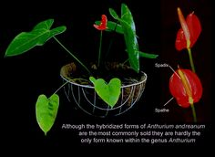 Anthurium Obaki, a hybrid form of Anthurium andreanum, grow, Photo Copyright 2007, Steve Lucas, www.ExoticRainforest.com