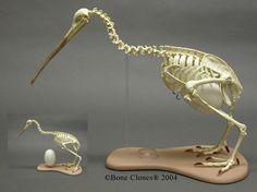 Articulated Kiwi Skeleton and Egg