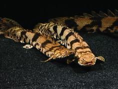 Polypterus endlicheri endlicheri – Saddled Bichir