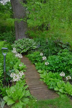 White candelabra primula and a variegated hosta line the wooden walkway to a giant white pine. To the right is a curly willow and a few camassia and leucojum in bloom; astrantia and ligularia leaves show