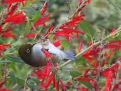 Silver Eye or Wax Eye in Pineapple Sage Bush Sage Bush, Pineapple Sage, Bird Feathers, Garden Plants, Wax, Hummingbirds, Drawings, Butterflies, Silver