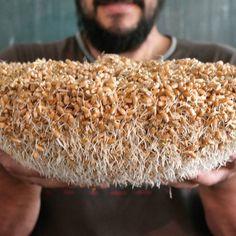 Voy a maltear trigo de @almasdelacomarca. A la protusión le daré un día más a ver que tal queda con la radícula más larga.