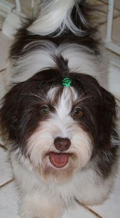Chocolate Havanese dog