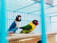 Lovebird..