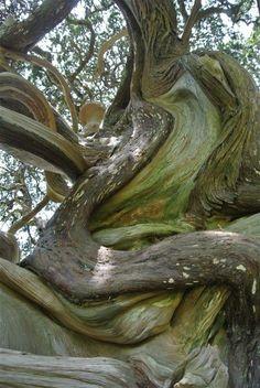 Árbol hermoso Torcido en el lugar santo Shiratori en la ciudad de Yoshida, Minami-Izu, Japón