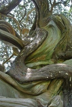 Twisted tree at the Shiratori shrine in the town of Yoshida, Minami-Izu, Japan