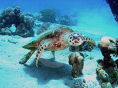 Schildpad in het rode overzees