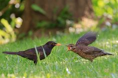 Hungry - Blackbird feeding the youngster