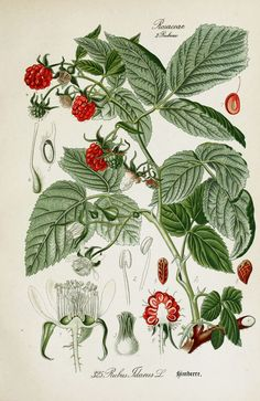 American Raspberry Rubus idaeus Botanical Illustration from Flora of Germany circa 1903: Raspberries Rubus