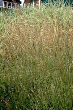 Find help & information on Molinia caerulea subsp. caerulea 'Moorhexe' purple moor-grass 'Moorhexe' from the RHS Perennial Grasses, Ornamental Grasses, Perennials, Plant Design, Garden Design, Rhs Chatsworth, Rhs Hampton Court, Variegated Plants, Cottage Garden Plants