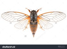 The Cicadetta montana or New Forest Cicada isolated on white background, dorsal view with outspread wings