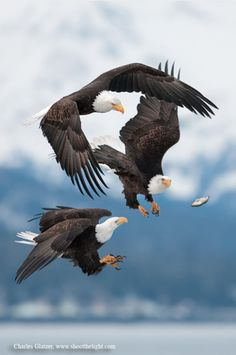 Amazing shot of Bald eagles chasing after a dropped fish, AK--by Charles Glatzer