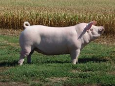 De Chester White is een ras van de binnenlandse varken die is ontstaan ​​in Chester County, Pennsylvania . Chester White, White Pig, Cattle Farming, This Little Piggy, Hippopotamus, Farm Life, Farm Animals, Pigs, Pennsylvania