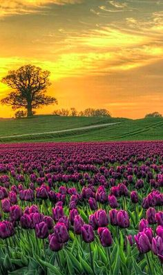 Field of tulips at Vesterborg, Denmark