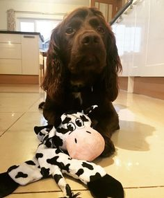 Sprocker and his Toy
