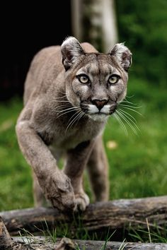 Ponderation — jrxdn:   Mountain Lion | Facebook | Instagram