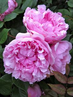 'Sister Elizabeth' |  Shrub.  English Rose Collection. Bred by David C. H. Austin (United Kingdom, before 2006)