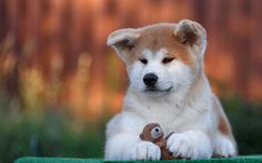 Download wallpapers Akita Inu, 4k, pets, cute animals, dogs, puppy