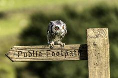 small owl landing on a signpost looking for its dinner. loved the colour of its eyes
