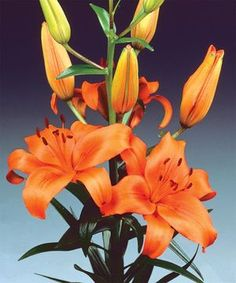 Lily Asiatic 'Brunnello' Lilies Asiatic