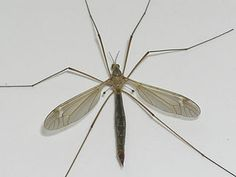 "Crane fly aka ""mosquito hawks"", ""gallinipper"", ""may fly"" ""skeeter eater"", ""gollywhopper"" and ""whapper"" DO NOT KILL THESE BUGS!!!!! They may look like huge mosquitoes but they are harmless. While in their larvae stage they will actually eat mosquito larvae! So, when you kill these bugs you are heightening your chance of getting bit by an actual mosquito.  Please help stop the confusion. I am tired of mosquito bites!"