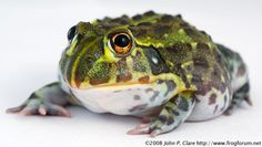 African Bullfrog Care Information