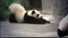 s-t-r-e-t-c-h Panda Yoga Cute Panda Baby, Panda Love, Panda Babies, Panda Day, Panda Panda, Panda Bears, Animals Beautiful, Cute Animals, T Shirt Bracelet
