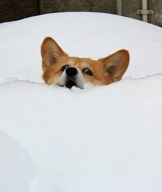 Dogs Stuck in the Snow Disappearing Corgi The snow has claimed another one! Remember me fondly, OK?