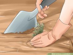 How to Divide a Lavender Plant. Many species of lavender are perennial plants, meaning they live for two or more years. These plants grow larger each spring and summer, and may eventually outgrow your garden. However, lavender is fragile. How To Propagate Lavender, Perennials, Aurora Sleeping Beauty, Disney Princess, Disney Characters, Outdoor Decor, Plants, Gardens, Image