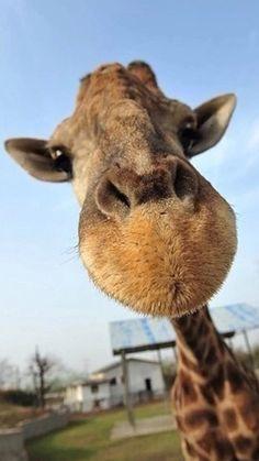 Cute Funny Giraffe Macro Face Animal iPhone 8 Wallpapers