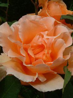 Oderings Garden Centre   Hybrid Tee Bush Rose - Just Joey.