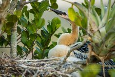 """Anhinga Nestlings"", photographs of young Anhingas, captured in or near their nests along the Anhinga Trail, Everglades NP, Florida 