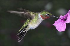 Hovering+Ruby+Throated+Hummer+by+papatheo.deviantart.com+on+@deviantART