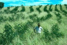 Leucaena trees and Guinea grass, probably to be a cheapest feedstock alternative in marginal areas in tropical countries.