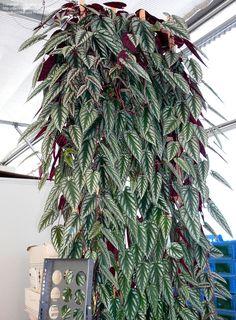 Rex Begonia Vine, Painted Cissus  Cissus discolor