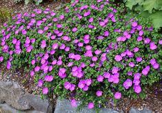 Geranium sanguineum (Hardy Geranium) gallon pot on best cranesbill geranium Cranesbill Geranium, Hardy Geranium, Geranium Sanguineum, Geraniums, Life Space, House Design, Gardening, Plants, Garten
