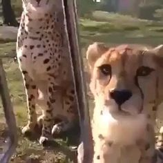 Funny Animal Videos, Cute Funny Animals, Funny Animal Pictures, Cute Baby Animals, Animals And Pets, Cute Cats, Funny Cats, Big Cats, Crazy Cats