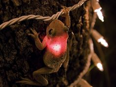Yep, Cuban Tree frogs really do eat almost anything. A hungry Cuban tree frog is all lit up after swallowing a decorative tree light in West Palm Beach, Florida After the photos was taken the light was removed from the Cuban Treefrog. The frog survived. Papua Nova Guiné, Amazing Frog, Amazing Facts, Funny Animals, Cute Animals, Crazy Animals, Animal Funnies, Wild Animals, Frog And Toad