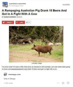 Or this pig who is all of us on a Friday night. | 29 Times Tumblr Was The Realest About Australian Wildlife