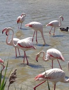 The Camargue is home to more than 400 species of birds and its brine ponds provide one of the few European habitats for the greater flamingo.