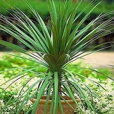 50+ Blue Dracaena Palm Seeds , Under The Sun Seeds