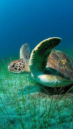 Sea Turtles Vara Loka wallpapers